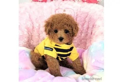 トイプードルの子犬(ID:1245711117)の1枚目の写真/更新日:2018-04-18