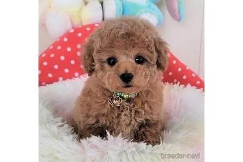 トイプードルの子犬(ID:1245711118)の1枚目の写真/更新日:2018-04-18