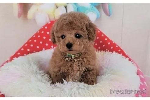 トイプードルの子犬(ID:1245711118)の2枚目の写真/更新日:2018-04-18