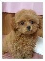 トイプードルの子犬(ID:1245711119)の1枚目の写真/更新日:2018-05-12