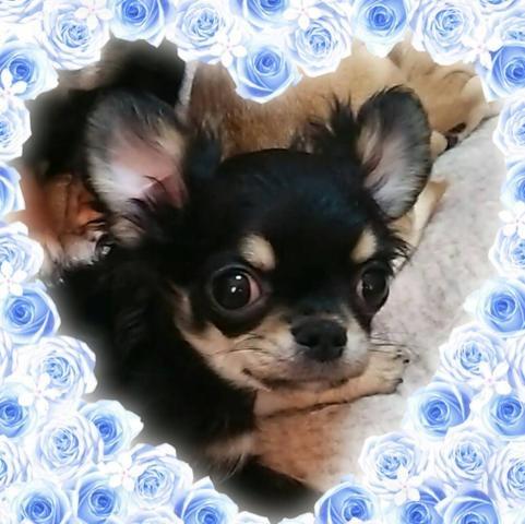 チワワ(ロング)の子犬(ID:1245811003)の1枚目の写真/更新日:2020-02-04