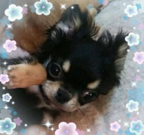 チワワ(ロング)の子犬(ID:1245811003)の2枚目の写真/更新日:2020-02-04