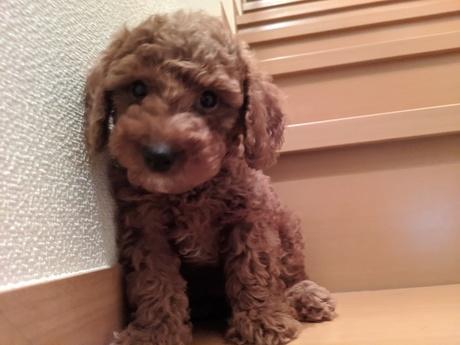 トイプードルの子犬(ID:1246111004)の2枚目の写真/更新日:2020-06-19