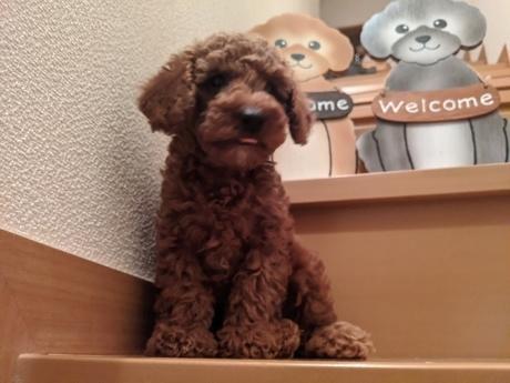 トイプードルの子犬(ID:1246111004)の3枚目の写真/更新日:2020-06-19