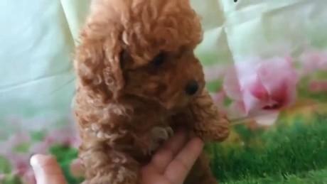 トイプードルの子犬(ID:1246111007)の2枚目の写真/更新日:2020-06-19