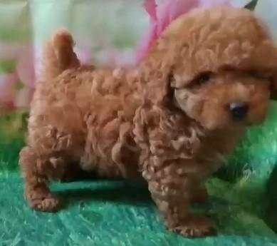 トイプードルの子犬(ID:1246111007)の3枚目の写真/更新日:2020-06-19