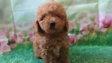 トイプードルの子犬(ID:1246111007)の4枚目の写真/更新日:2020-06-19