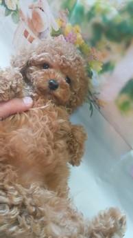 トイプードルの子犬(ID:1246111008)の1枚目の写真/更新日:2021-02-08