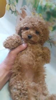 トイプードルの子犬(ID:1246111008)の2枚目の写真/更新日:2021-02-08