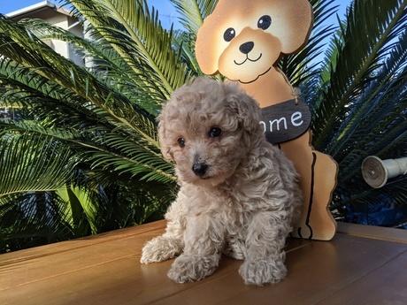 トイプードルの子犬(ID:1246111009)の1枚目の写真/更新日:2020-06-19