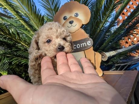 トイプードルの子犬(ID:1246111009)の2枚目の写真/更新日:2020-06-19