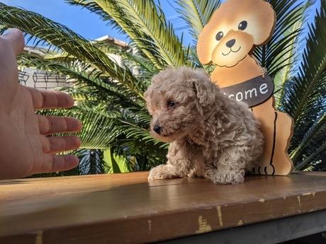 トイプードルの子犬(ID:1246111009)の3枚目の写真/更新日:2020-06-19