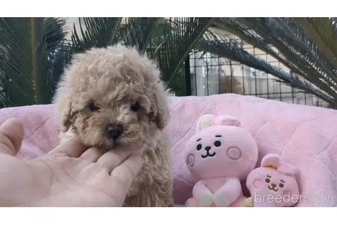 トイプードルの子犬(ID:1246111020)の1枚目の写真/更新日:2020-06-30