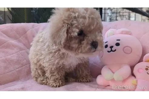 トイプードルの子犬(ID:1246111020)の2枚目の写真/更新日:2020-06-30