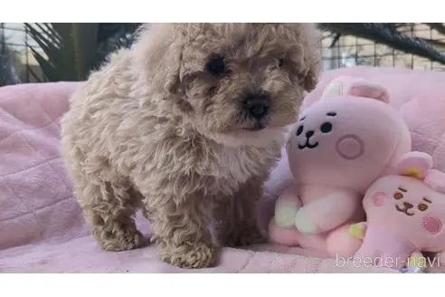トイプードルの子犬(ID:1246111020)の3枚目の写真/更新日:2020-06-30