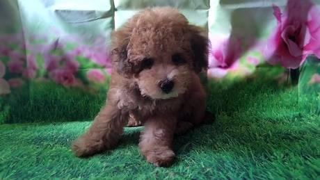 トイプードルの子犬(ID:1246111023)の1枚目の写真/更新日:2021-07-09