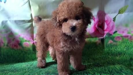 トイプードルの子犬(ID:1246111023)の2枚目の写真/更新日:2021-07-09