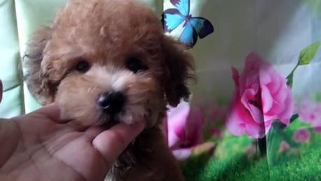 トイプードルの子犬(ID:1246111023)の3枚目の写真/更新日:2021-07-09