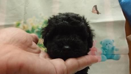 トイプードルの子犬(ID:1246111024)の1枚目の写真/更新日:2021-07-09