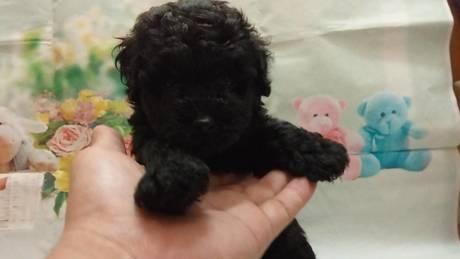トイプードルの子犬(ID:1246111024)の2枚目の写真/更新日:2021-07-09