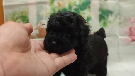 トイプードルの子犬(ID:1246111024)の3枚目の写真/更新日:2021-07-09