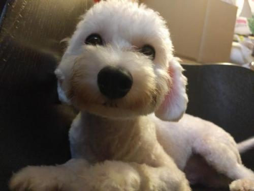 トイプードルの子犬(ID:1246111025)の1枚目の写真/更新日:2017-09-11