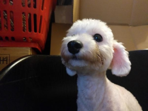 トイプードルの子犬(ID:1246111025)の2枚目の写真/更新日:2017-09-11