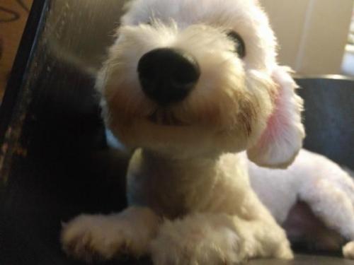 トイプードルの子犬(ID:1246111025)の3枚目の写真/更新日:2017-09-11