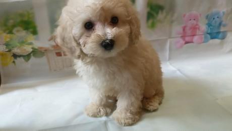 トイプードルの子犬(ID:1246111026)の1枚目の写真/更新日:2017-02-17