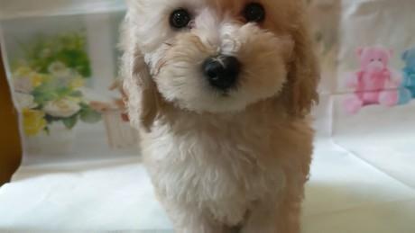 トイプードルの子犬(ID:1246111026)の2枚目の写真/更新日:2017-02-17