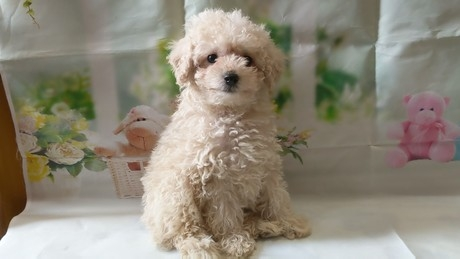 トイプードルの子犬(ID:1246111027)の1枚目の写真/更新日:2021-02-12
