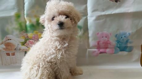 トイプードルの子犬(ID:1246111027)の2枚目の写真/更新日:2021-02-12