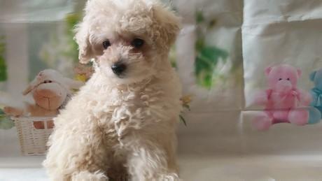 トイプードルの子犬(ID:1246111027)の3枚目の写真/更新日:2021-02-12