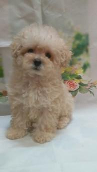 トイプードルの子犬(ID:1246111028)の1枚目の写真/更新日:2021-02-12