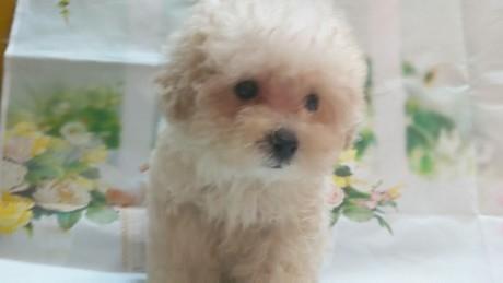 トイプードルの子犬(ID:1246111028)の2枚目の写真/更新日:2021-02-12