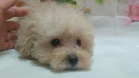 トイプードルの子犬(ID:1246111028)の3枚目の写真/更新日:2021-02-12