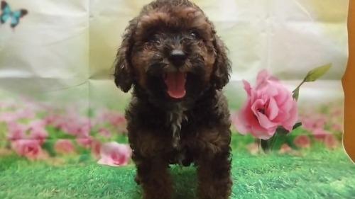 トイプードルの子犬(ID:1246111029)の1枚目の写真/更新日:2017-09-05