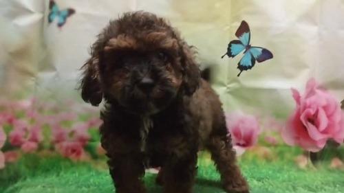 トイプードルの子犬(ID:1246111029)の2枚目の写真/更新日:2017-09-05