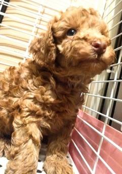 トイプードルの子犬(ID:1246111030)の1枚目の写真/更新日:2018-10-25