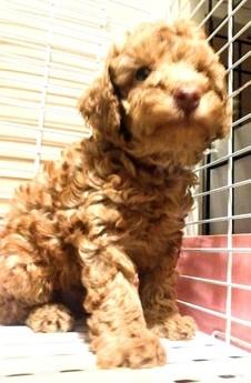 トイプードルの子犬(ID:1246111030)の2枚目の写真/更新日:2018-10-25