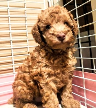 トイプードルの子犬(ID:1246111030)の4枚目の写真/更新日:2018-10-25