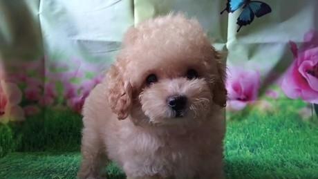 トイプードルの子犬(ID:1246111031)の2枚目の写真/更新日:2018-10-25