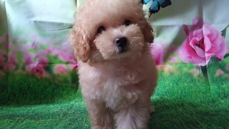 トイプードルの子犬(ID:1246111031)の3枚目の写真/更新日:2018-10-25