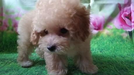 トイプードルの子犬(ID:1246111031)の4枚目の写真/更新日:2018-10-25