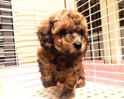 トイプードルの子犬(ID:1246111032)の1枚目の写真/更新日:2018-10-25