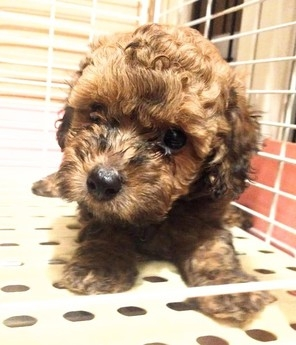 トイプードルの子犬(ID:1246111032)の2枚目の写真/更新日:2018-10-25