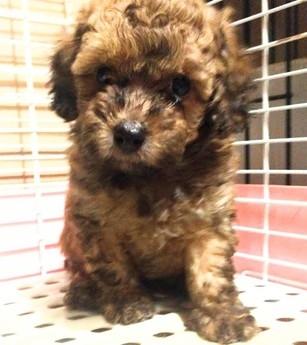 トイプードルの子犬(ID:1246111032)の3枚目の写真/更新日:2018-10-25
