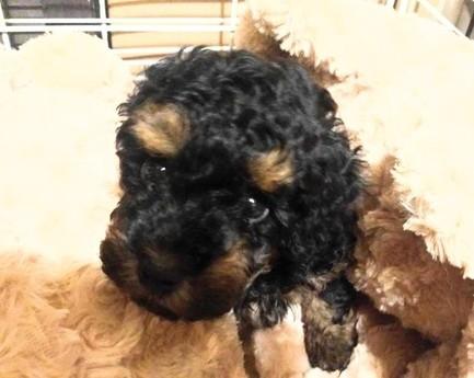 トイプードルの子犬(ID:1246111033)の2枚目の写真/更新日:2018-10-25