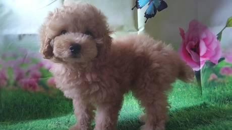 トイプードルの子犬(ID:1246111035)の1枚目の写真/更新日:2021-07-09