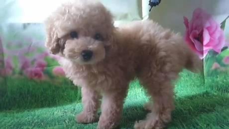 トイプードルの子犬(ID:1246111035)の2枚目の写真/更新日:2021-07-09
